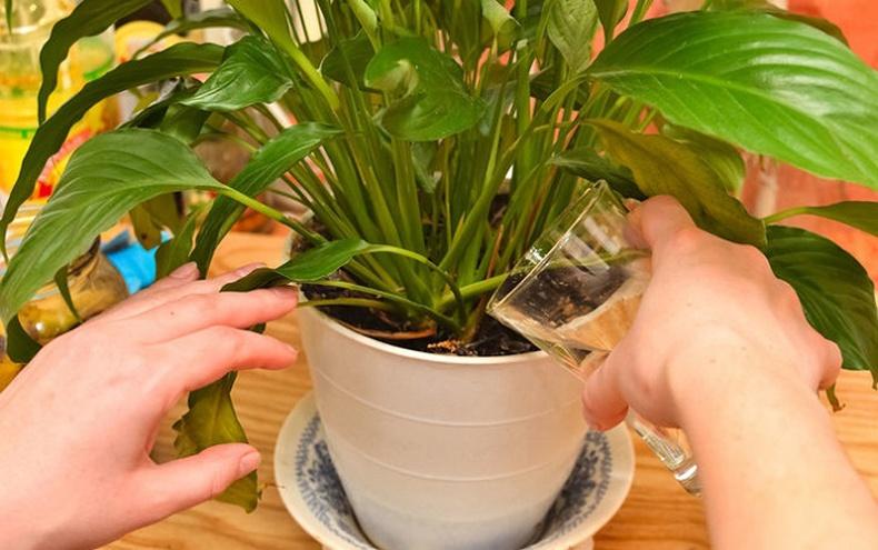Гэрийнхээ цэцгийг хэрхэн зөв, сайхан ургуулах вэ?