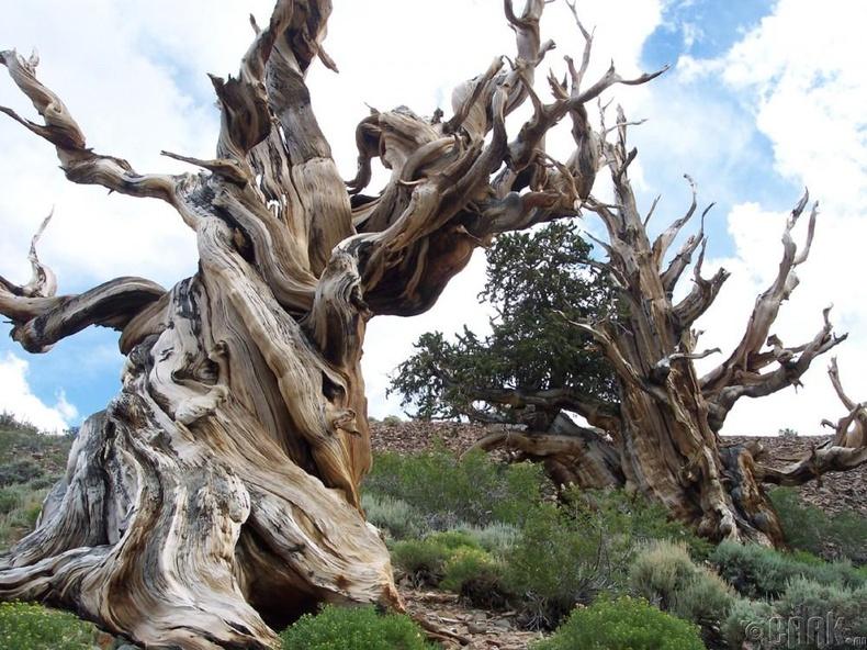 Олон жилийн настай мод