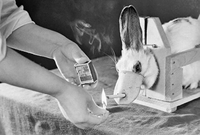 Туулайнд уушгины хорт хавдрын туршилт хийж байгаа нь - Тбилиси, 1967