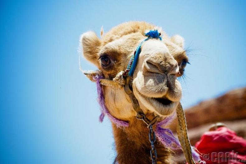 """""""Camel"""" гэдэг нь үзэсгэлэн гоо гэсэн утгатай"""