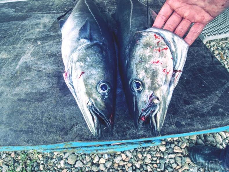 """Их Британид """"Сэжигтэй нөхцөл байдал"""" -аар  загас барьж болохгүй"""
