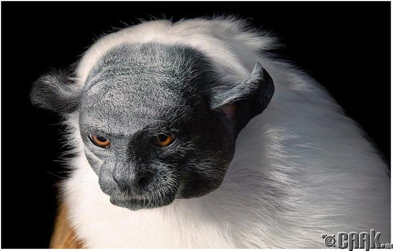 Эрээн хурц хумст сармагчин