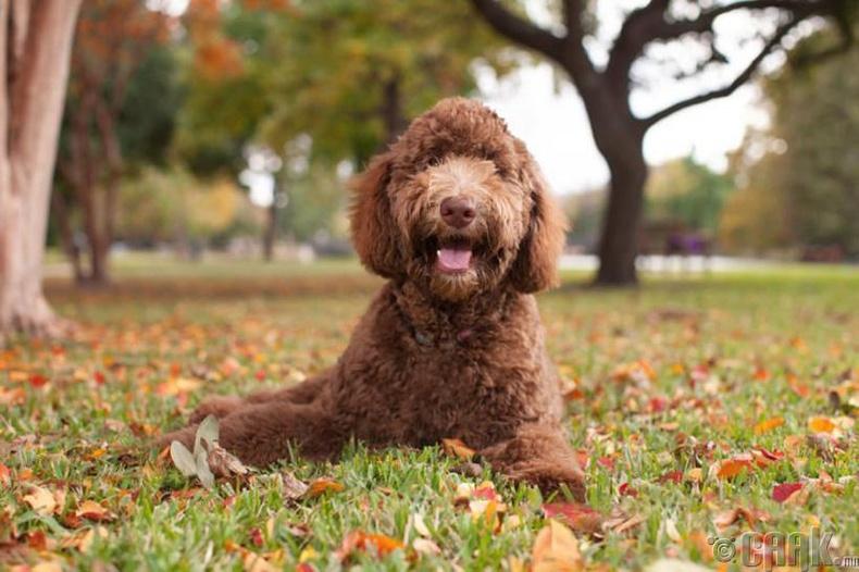 Уэлли Конрон (Wally Conron)- Хөгжлийн бэрхшээлтэй хүмүүсийн хөтөч нохой Labradoodle-ийн үүлдрийг бий болгогч