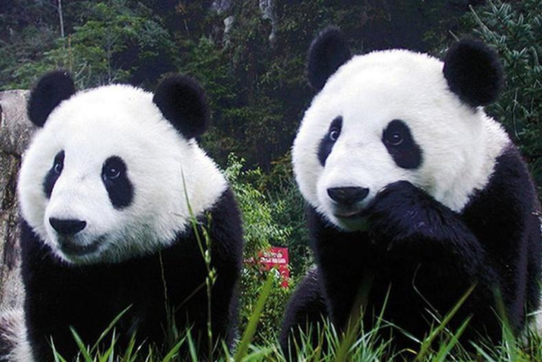 Хуурамч пандагаар үзэгчдийг хуурч байжээ