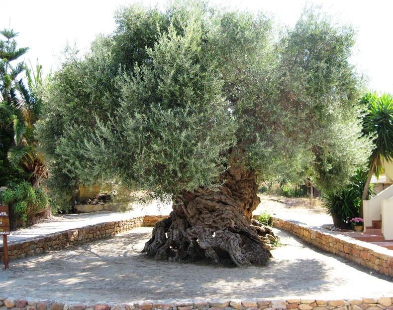 3000 жилийн настай чидун жимсний мод