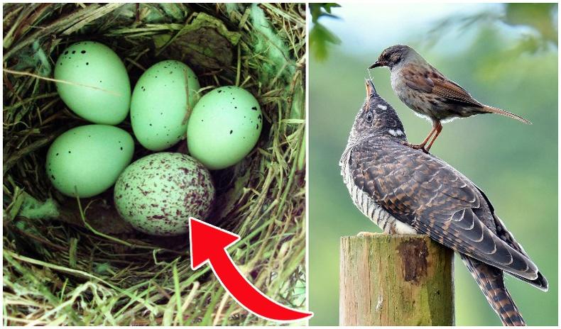 Хөхөө шувуу яагаад бусдын үүрэнд өндгөө орхидог вэ?