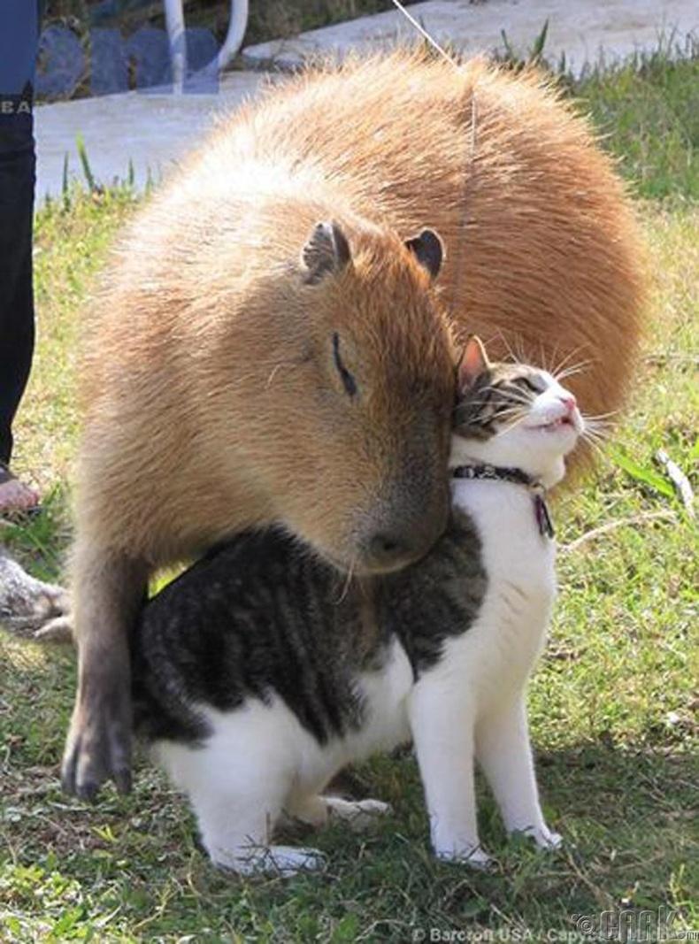 Гари капибара ба Флопси муур