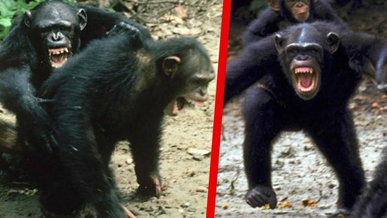 """""""Байгалийн шалгарал"""" - Шимпанзегийн хоёр омгийн хооронд 4 жилийн турш үргэлжилсэн цуст дайн"""