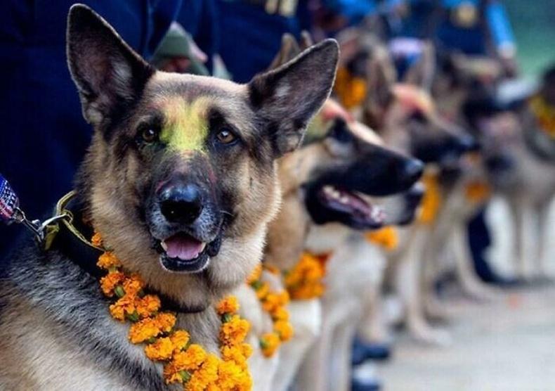 Непал улсад жил бүр нохойны үнэнч занд талархдаг Кукур Тихарын баяр болдог.