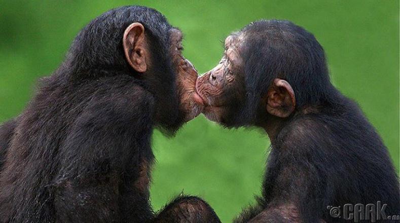 Амьтад хүнээс ч илүү үнсэлцдэг