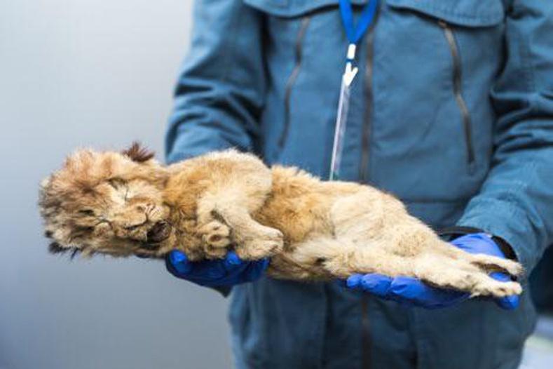 44 мянган жилийн өмнө амьдарч байсан арслангийн гүег Сибирийн мөнх цэвдэг дороос бараг хэвээрээ олджээ