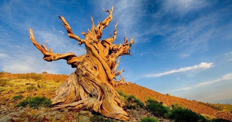 Дэлхий дээрх хамгийн хөгшин 7 мод