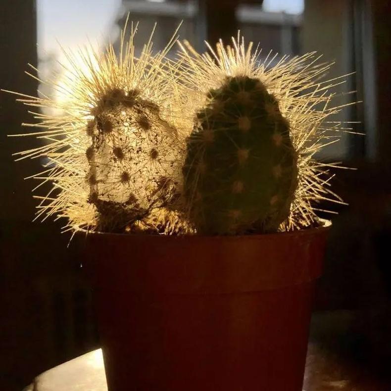 Ганц ч удаа усалж байгаагүй кактус