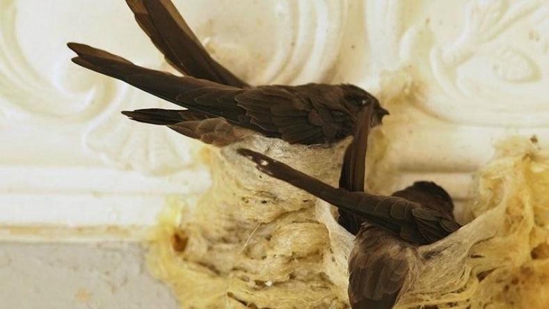 Шувууны үүрэн хоол