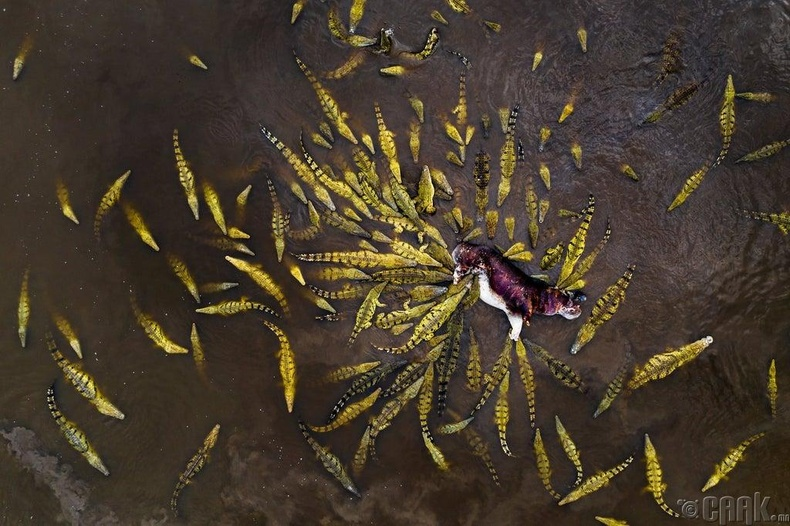 Усны үхэр дээр найрлаж буй матрууд