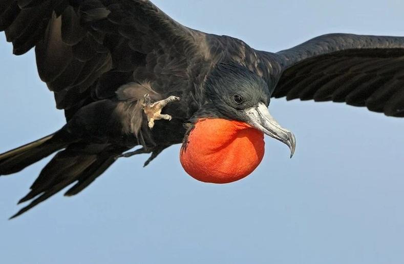 Фрегат шувуу  (лат. Fregata)
