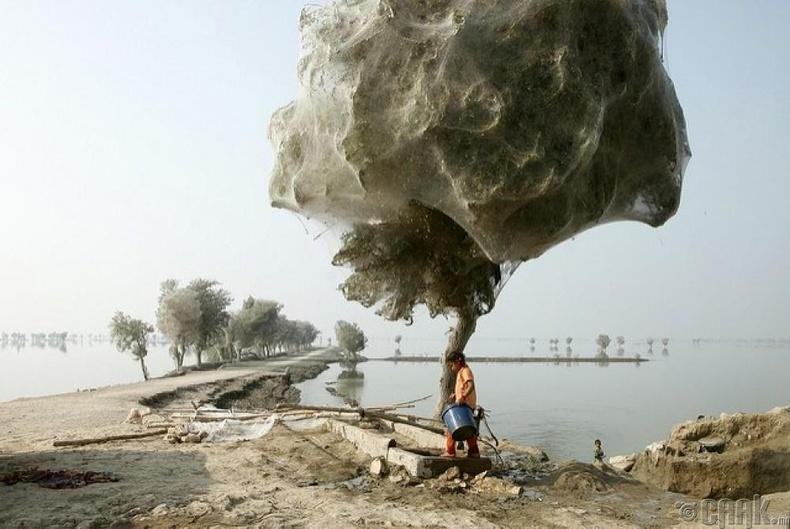 Модонд үүрлэсэн аалзууд