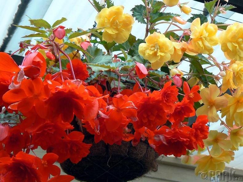 Хайтан цэцэг (Begonias)