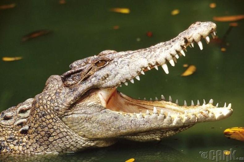 Матрын нулимс (Crocodile tears)
