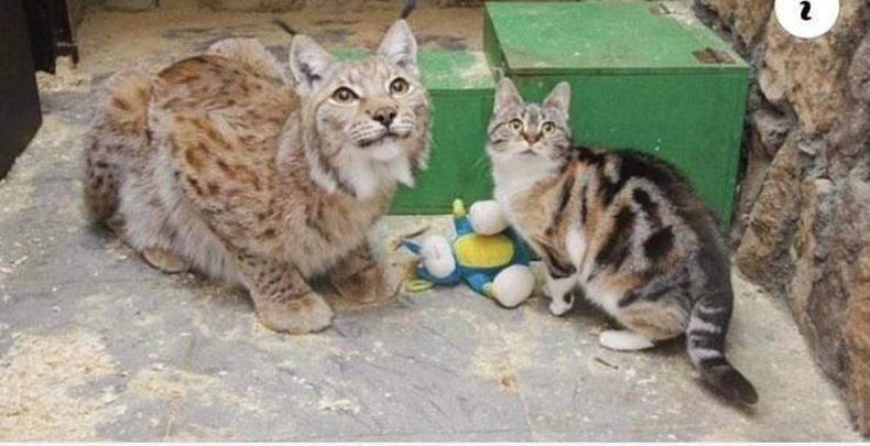 Энэхүү муур амьтны хүрээлэн рүү нууцаар ороод тэнд амьдардаг шилүүстэй найз болцгоожээ