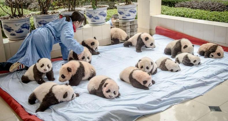 Хятадуудын панда үржүүлдэг нууц арга