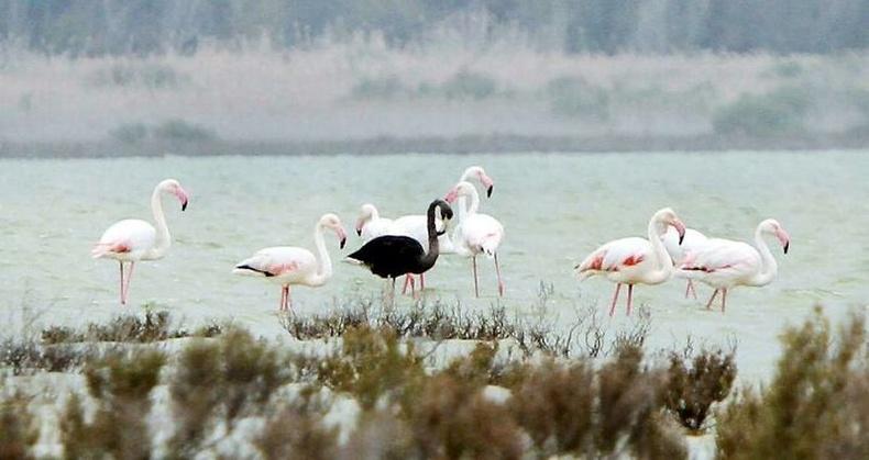 2015 онд Кипрт энэхүү хар өнгөтэй фламинго үзэгджээ