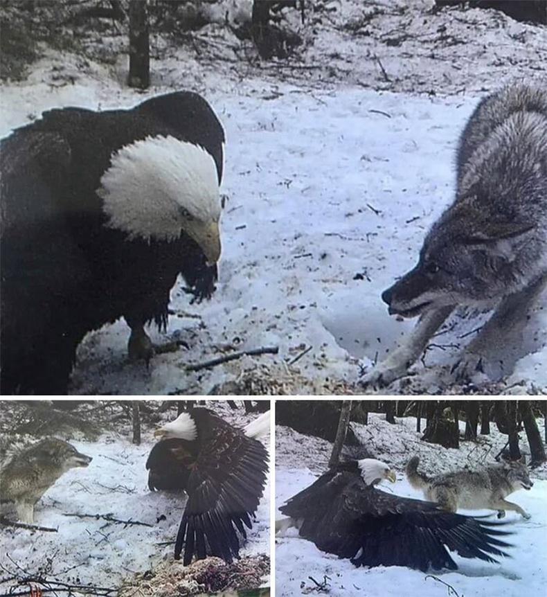 Бүргэдийн эсрэг чоно