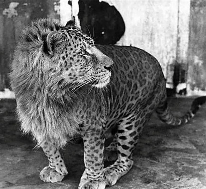 Ирвэс, арслангийн эрлийз
