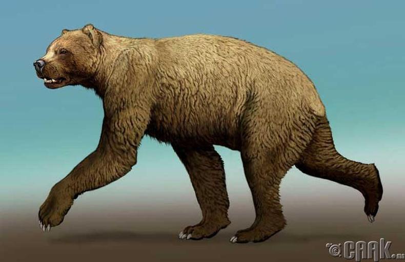 Богино нүүрт аварга баавгай (Arctodus Simus)