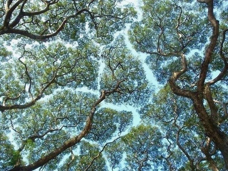 Моддын орой хоорондоо хүрэлгүй ургажээ
