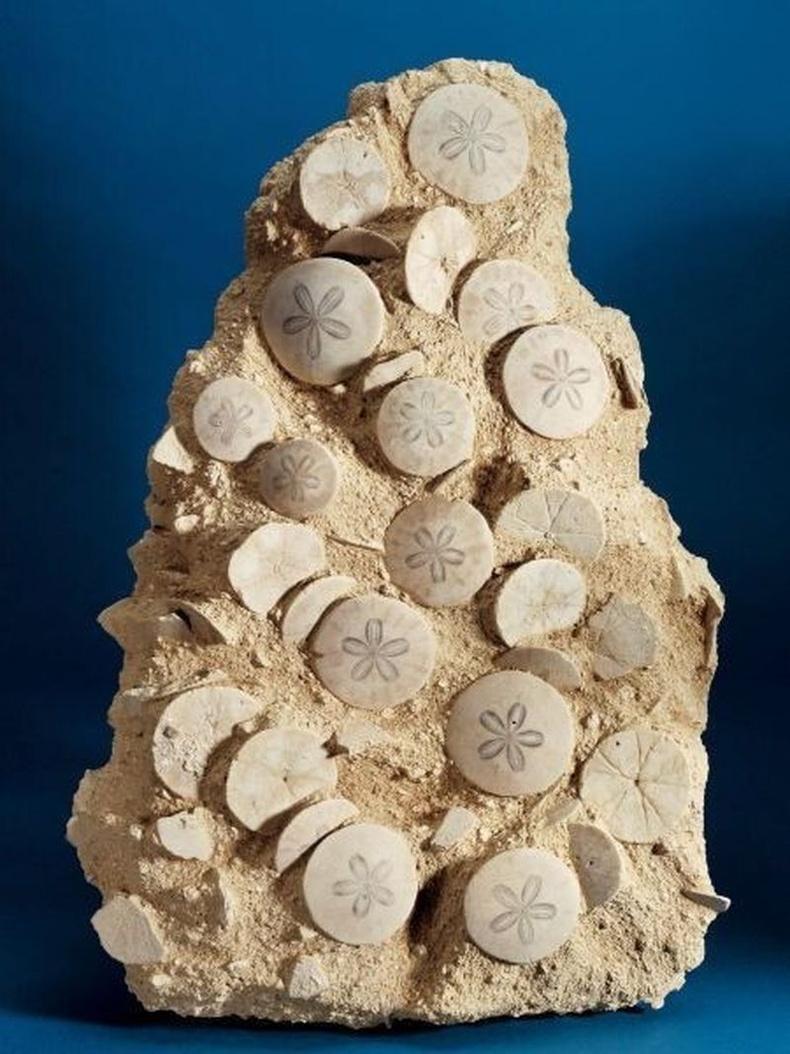 Миоцений эринд хамаарах далайн залхаг Scutella stelatta