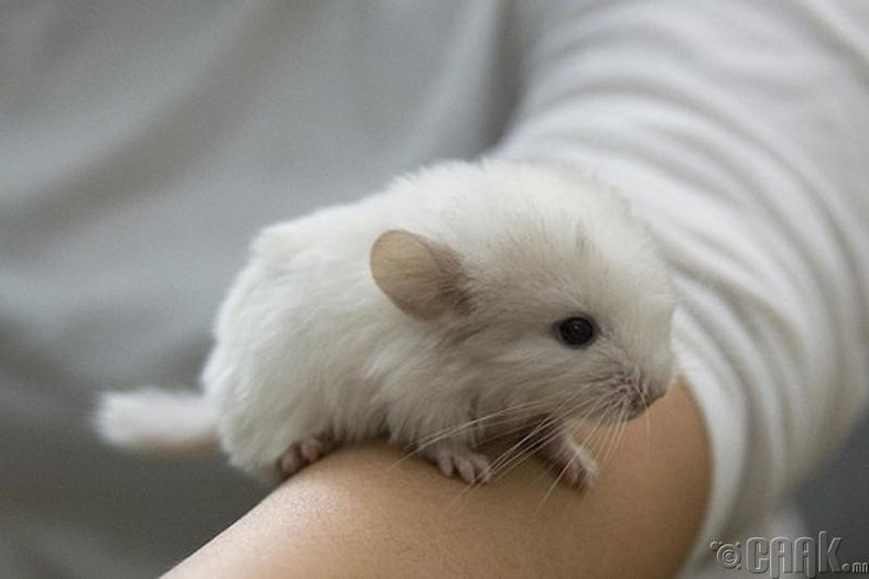 Чинчилла (Chinchillas)