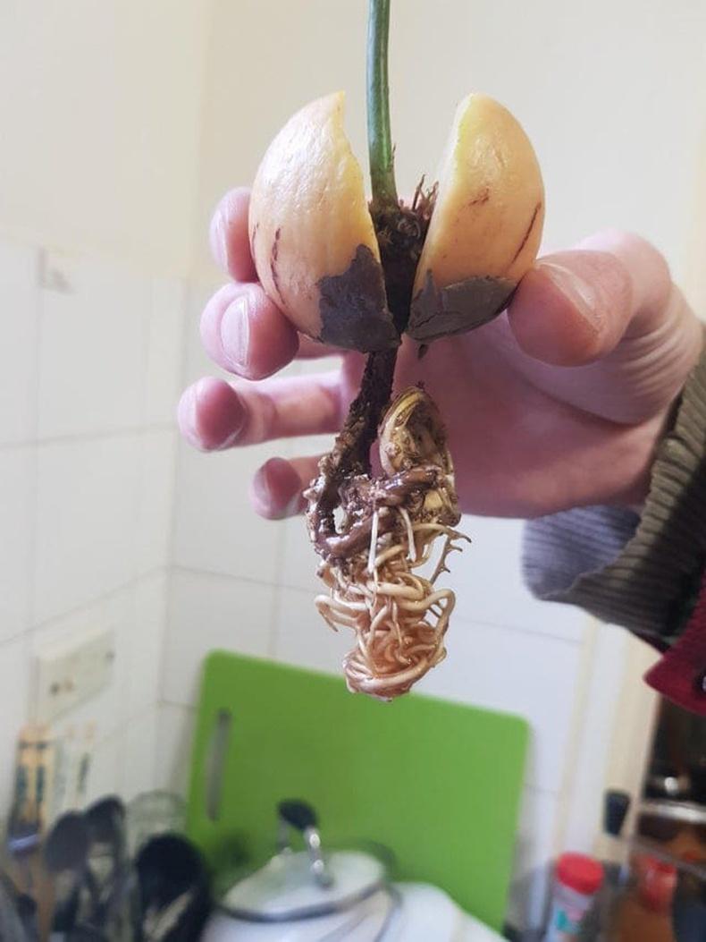 Авокадогийн үрийг усанд хийгээд орхивол