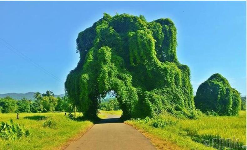 100 жилийн турш ургаж буй мангоны мод