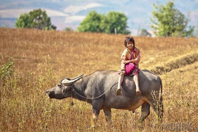 Мьянмар охид одос үхэр унан сургуульдаа очих нь түгээмэл