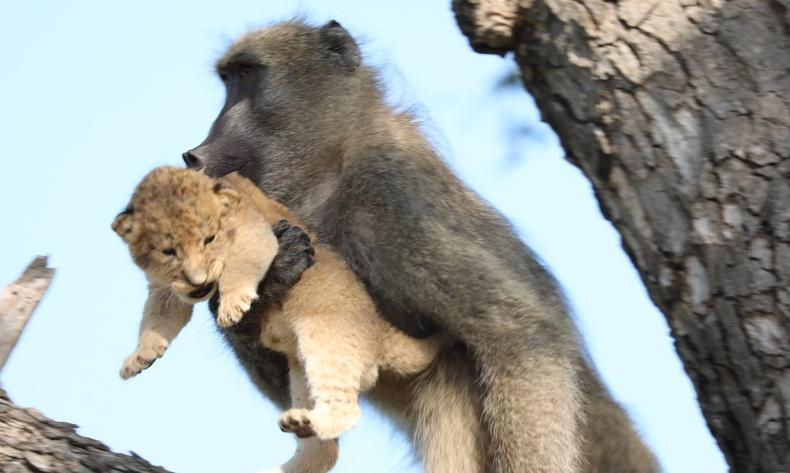 Сармагчингууд яагаад арслангийн гүегийг хулгайлдаг вэ?