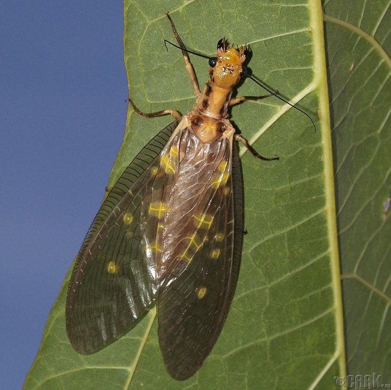 """""""Dobsonfly"""""""