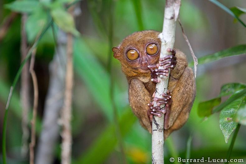 Филиппиний лемур сармагчин (Carlito syrichta)