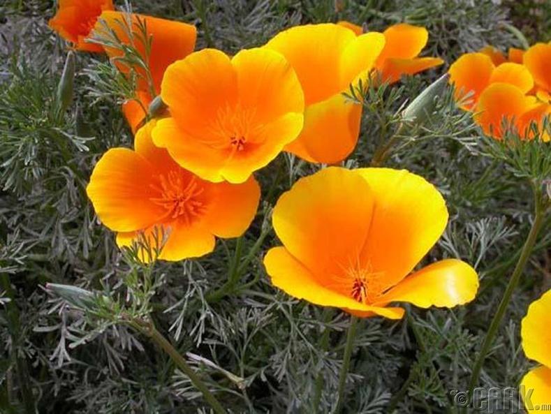 Намуу цэцгийн үндэс
