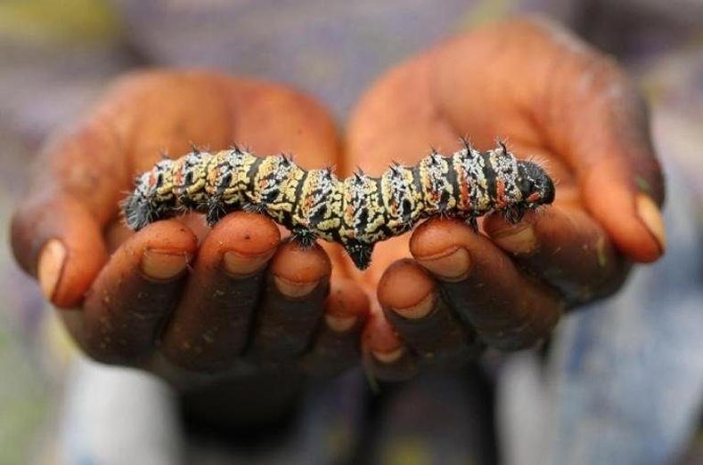 Мопане жаран хөлт – Африк