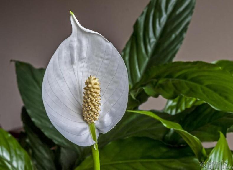 """Энхийн сараана цэцэг - """"Spathiphyllum"""""""