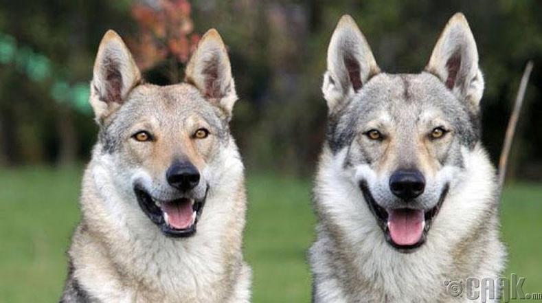 Чехийн влчак - 1400 ам.доллар