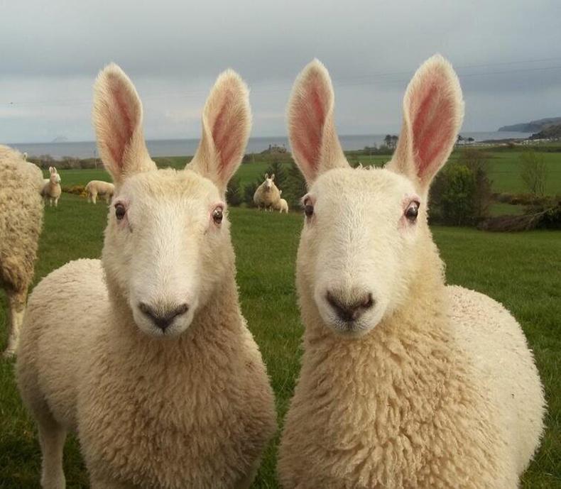 """""""Лестер"""" үүлдрийн хонь"""