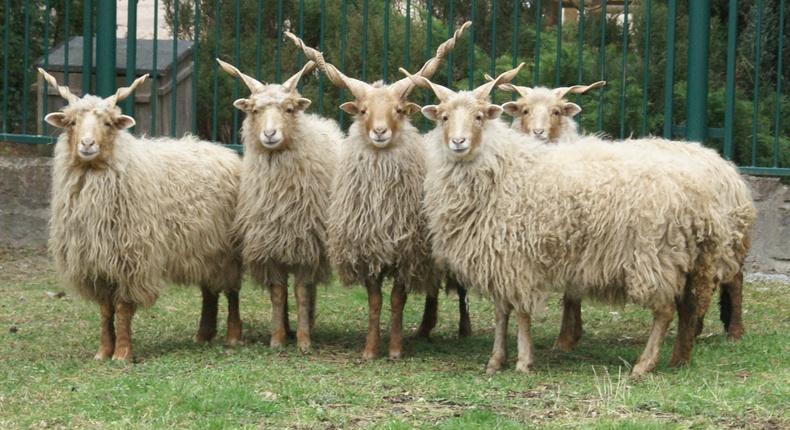 Рака хонь