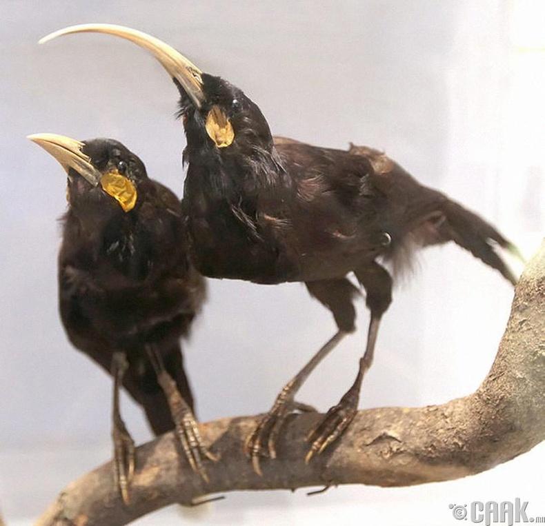 Шувууны өд