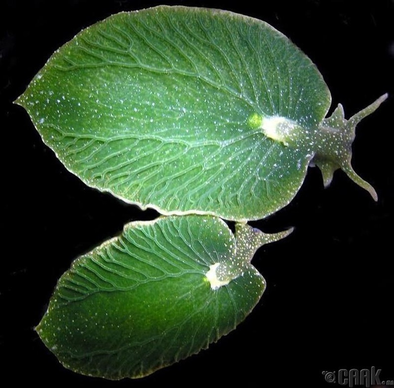 Фотосинтез явуулах чадвартай нялцгай биетнүүд