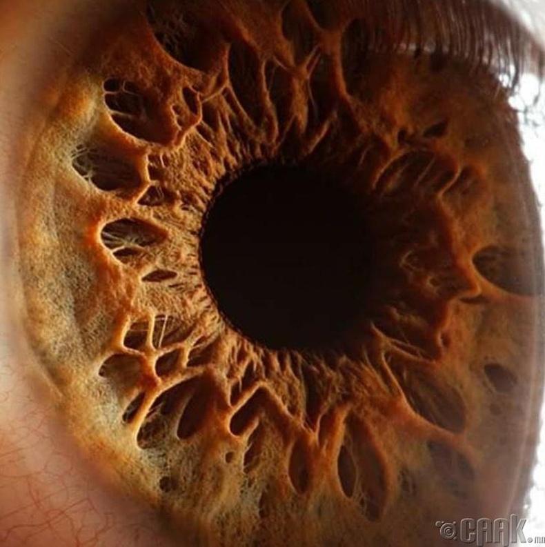 Нүдний солонгон бүрхүүл  жижиг зангилаатай хүчирхэг булчин юм