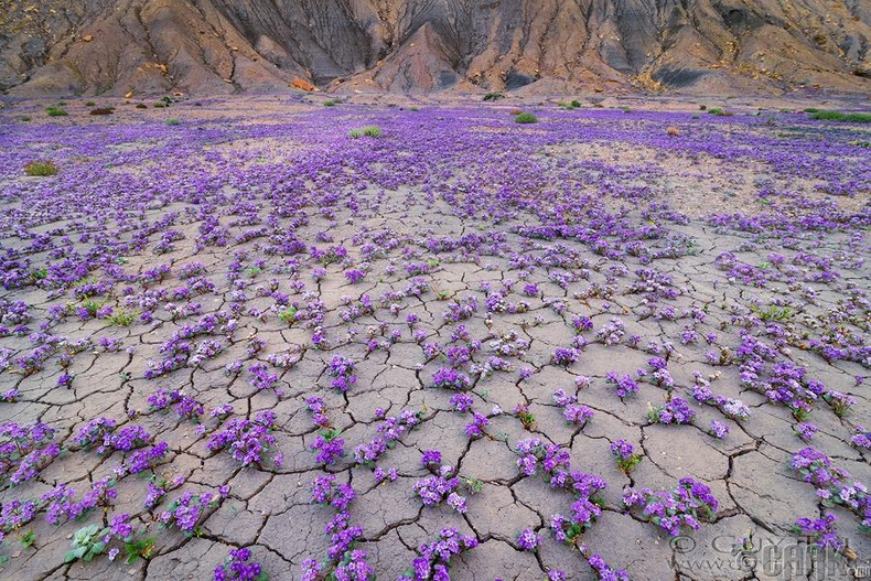Элсэн цөлд юу ч ургадаггүй гэдэг ч Юта мужийн цөлд цэцэгс дэлбээлжээ