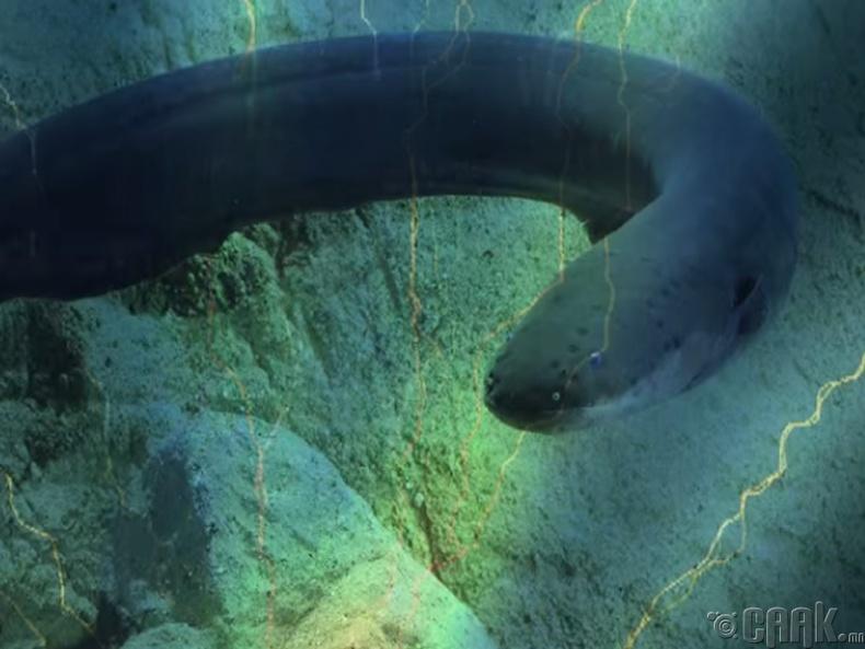Цахилгаант могой загас