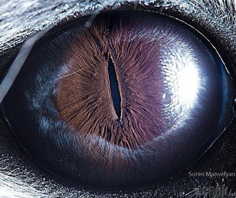 Шиншиллагийн гайхалтай нүд